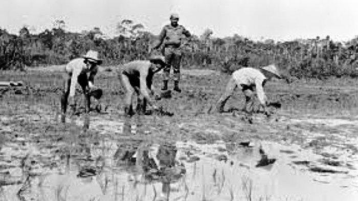 Tapol menanam padi di Pulau Buru sambil dijaga tentara