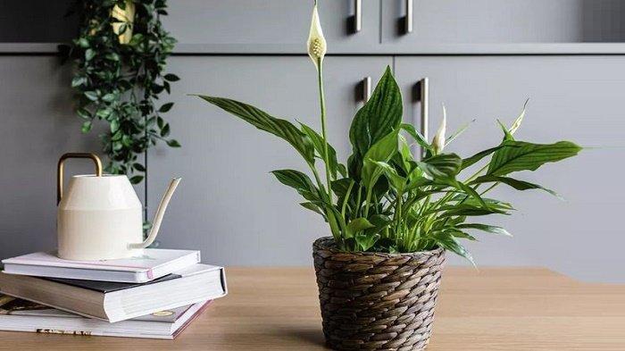 peace-lily-pembawa-keberuntungan.jpg