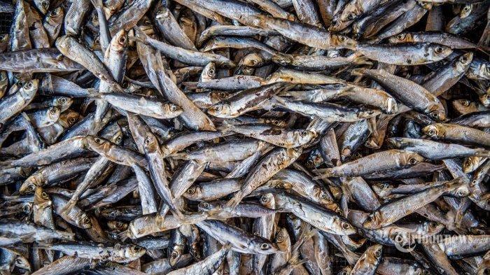 Ilustrasi ikan teri