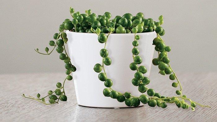 string-of-pearls-tanaman-hias-penyegar-ruangan.jpg