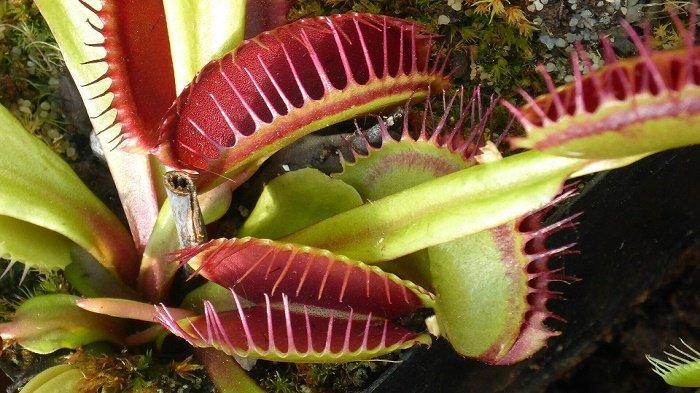 venus-flytrap-tanaman-hias-yang-tidak-disarankan-ahli-untuk-dibeli.jpg