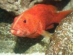 Ikan Kerapu (Epinephelus)
