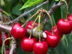 buah-ceri-3.jpg