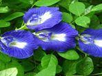 3 Tips Merawat Bunga Telang Agar Selalu Berbunga