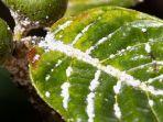 3 Cara Basmi Hama Kutu Putih yang Menempel pada Tanaman Hias