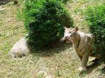 harimau-koleksi-sinka-zoo.jpg