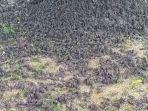 ribuan-burung-pipit-jatuh-berhamburan-di-tanah-bali.jpg
