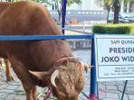 sapi-kurban-Jokowi.jpg
