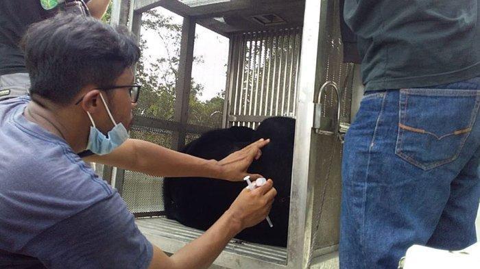 Tim BBKSDA Riau Evakuasi dan Lepasliarkan Beruang Madu yang Terjerat di Inhu