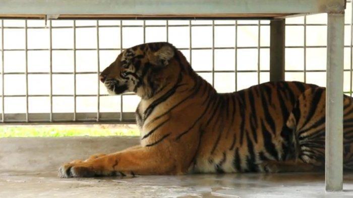Harimau yang Masuk Perangkap di Siak Diberi Nama Lanustika, Begini Kondisinya Sekarang