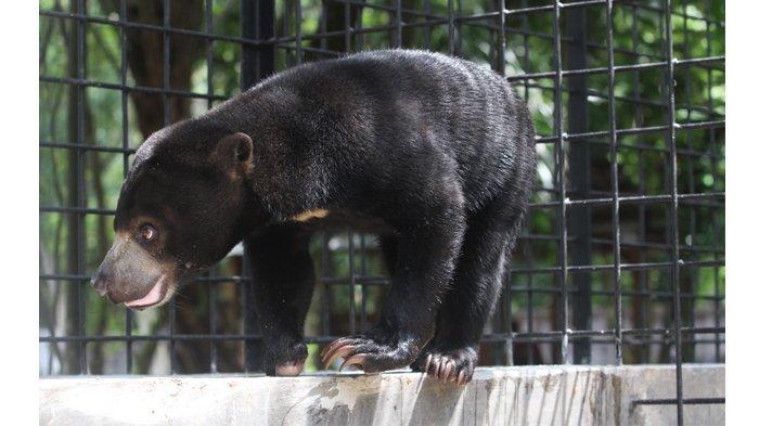 Dua Beruang Madu yang Sempat Resahkan Warga Bukit Timah Dumai Berhasil Dievakuasi