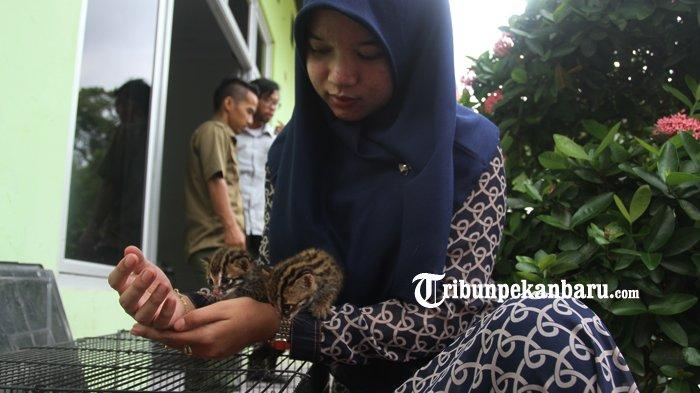 FOTO : BBKSDA Riau Rawat Dua Anak Kucing Hutan yang Ditemukan Warga - kucing1.jpg
