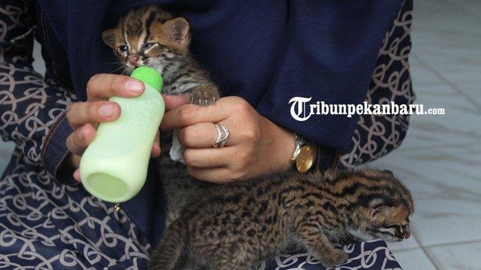 FOTO : BBKSDA Riau Rawat Dua Anak Kucing Hutan yang Ditemukan Warga - kucing2.jpg