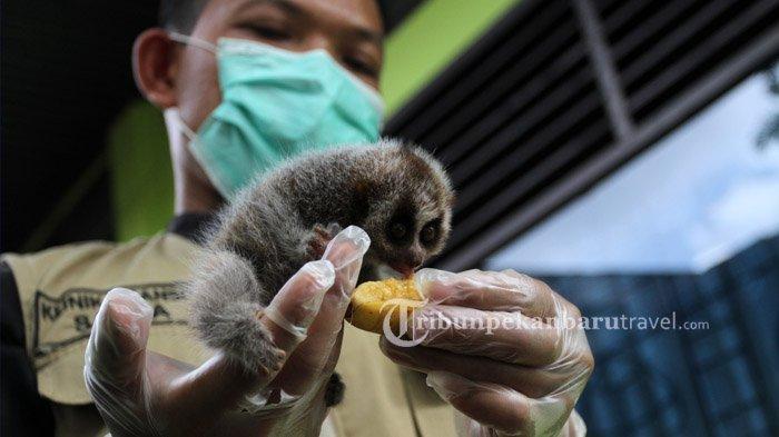 Seekor Bayi Kukang Diserahkan ke BBKSDA Riau, Ditemukan Saat Membuka Perkebunan di Perbatasan