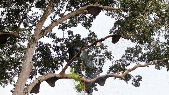 Merasakan Manfaat Hutan Pedalaman Riau Lewat Madu Sialang Anak Talang
