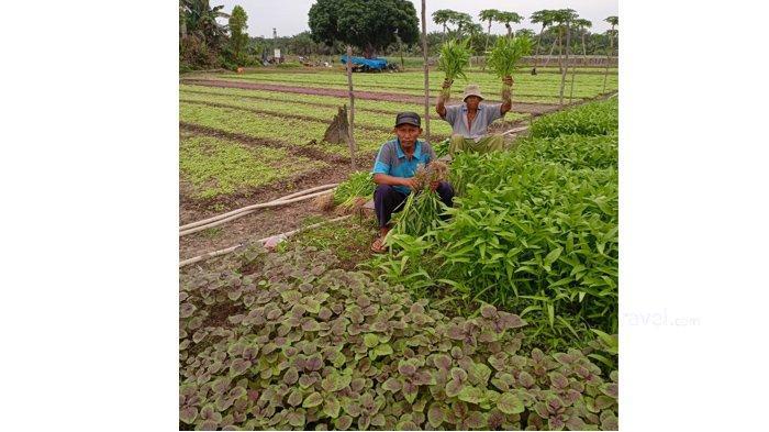 Kisah Petani Sukses di Riau, Raup Untung Puluhan Juta per Bulan dari Bertanam Sayur