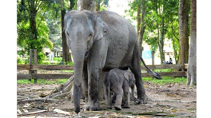 Seekor Gajah Jantan Lahir di TWA Buluh Cina, Gubri Syamsuar Beri Nama Damar