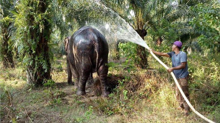 BBKSDA Riau Evakuasi Gajah Tunggal di Kantong Gajah Rokan Hilir