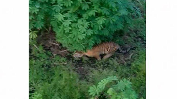 Viral Video Harimau Mangsa Ayam Milik Warga di Siak, Ini Penjelasan BBKSDA Riau