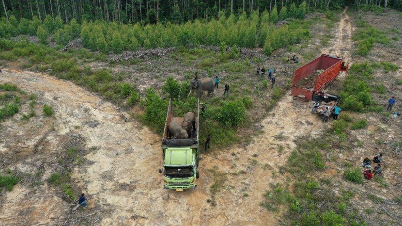 BBKSDA Riau Evakuasi & Translokasi 2 Gajah Liar, Sebelumnya 1 Bulan Rusak Kebun Warga di Peranap
