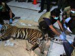 harimau-sumatera-kena-kena-jerat1.jpg<pf>harimau-sumatera-kena-jerat2.jpg