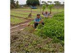 petani-sukses-asal-Perawang-Herman-saat-panen-di-ladang-miliknya-Rabu-1472021.jpg
