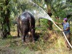 seekor-gajah-sumatera-dari-kantong-gajah-rokan-hilir.jpg