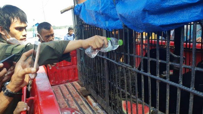 Beruang Madu di Indragiri Hilir Berhasil Diselamatkan dari Jerat, Kini Dirawat BBKSDA Riau