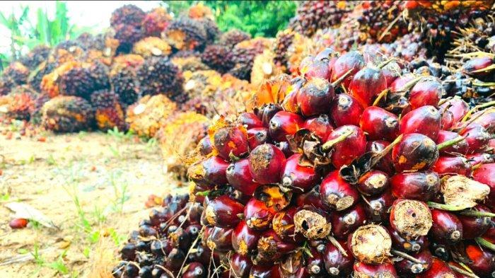 Daftar Harga Kelapa Sawit di Riau Priode 15-21 September 2021
