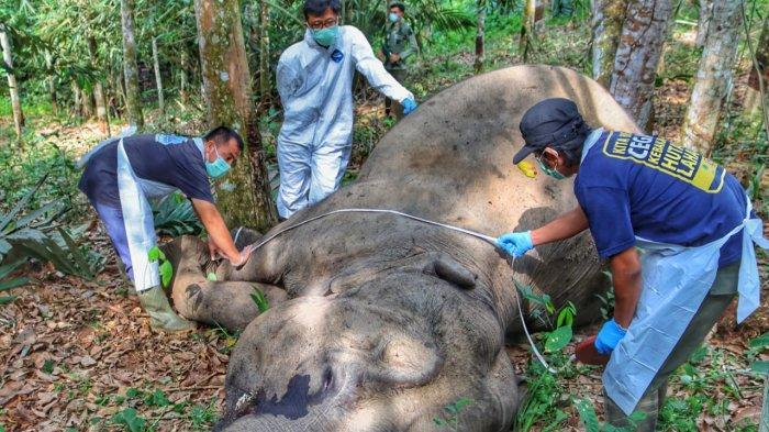 Gajah Sumatra Ditemukan Mati di Desa Lubuk Kembang Bungo Pelalawan Riau