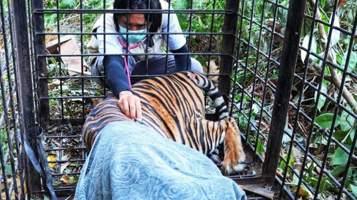 Harimau Sumatra yang Diduga Serang Manusia di Siak Riau Berhasil Ditangkap