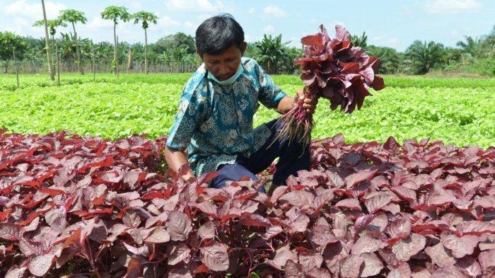 Kisah Herman, Petani Holtikultura Sukses Asal Siak Riau