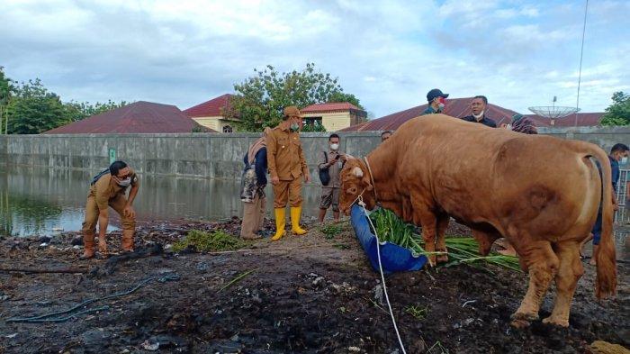 Sapi Limousin milik peternak di Bengkalis terpilih sebagai sapi qurban Presiden Jokowi