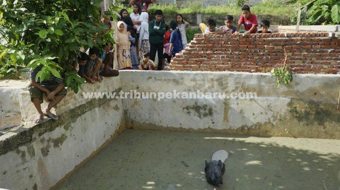 Foto: Seekor Tapir Masuk Kolam Ikan di Pekanbaru - Seekor-Tapir-Betina-masuk-kolam-ikan-milik-warga-di-Pekanbaru.jpg