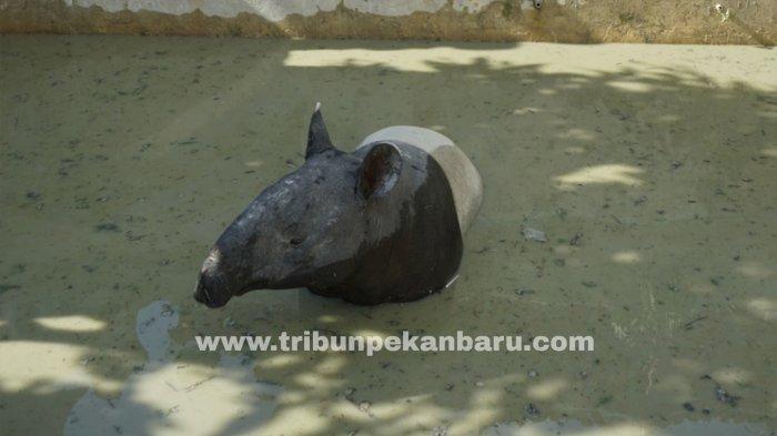 Foto: Seekor Tapir Masuk Kolam Ikan di Pekanbaru - Tapir-Betina-terjebak-di-kolam-ikan-setinggi-sekitar-170-cm-milik-warga-Pekanbaru.jpg