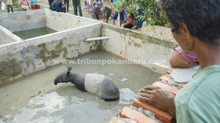 Foto: Seekor Tapir Masuk Kolam Ikan di Pekanbaru - Tapir-yang-masuk-dan-terjebak-di-kolam-ikan-jadi-tontonan-warga-di-Pekanbaru.jpg