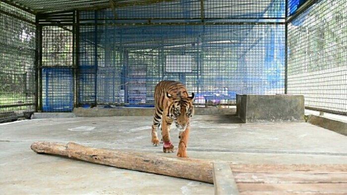 Pusat Konservasi Harimau Sumatra Akan Dibangun di Riau