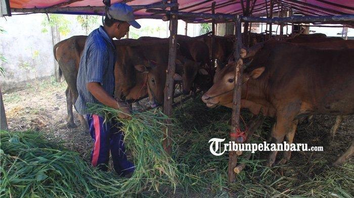 Penyembelihan Hewan Kurban di Zona Merah dan Zona Oranye di Pekanbaru Disarankan di Rumah Potong