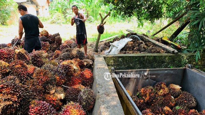 Update Harga Kelapa Sawit di Riau Priode 25-31 Agutsus 2021