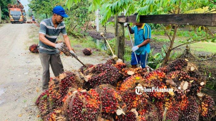 Daftar Harga Kelapa Sawit di Riau Priode 7 Hingga 13 Juli 2021