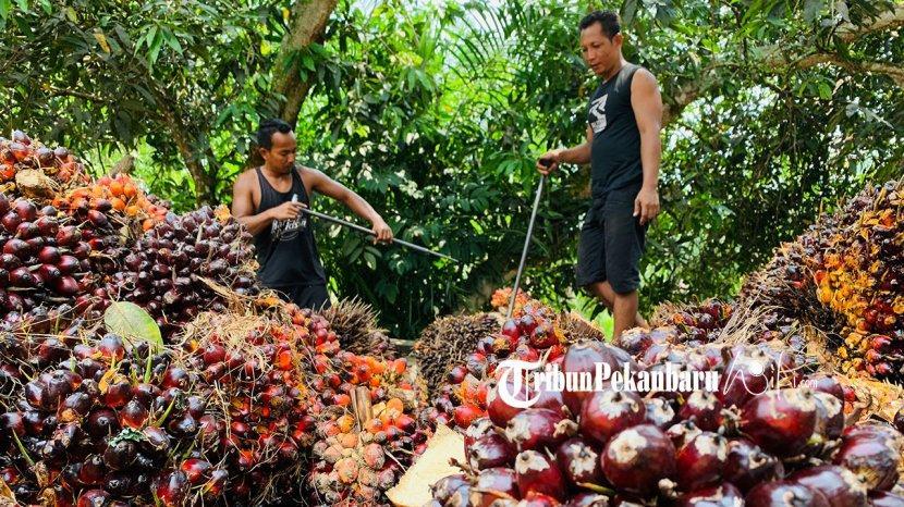 Daftar harga Kelapa Sawit di Riau Priode 22-28 September 2021