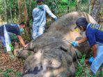 Gajah-Sumatra-Ditemukan-Mati-di-Desa-Lubuk-Kembang-Bungo-Pelalawan-Riau.jpg