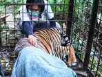 Harimau-Sumatra-di-Siak-Riau-Berhasil-Ditangkap.jpg