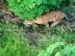 Heboh-Harimau-Sumatra-Mangsa-Ayam-Milik-Warga-di-Siak-Riau.jpg