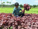 Herman-petani-hotikultura-di-Kabupaten-Siak-Riau.jpg