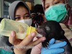 bayi-beruang-madu-sedang-dalam-perawatan-oleh-dokter-hewan-bksda-riau.jpg