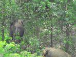 dua-ekor-gajah-terlihat-beraktivitas-didekat-kebun-sawit-milik-warga.jpg