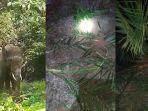 kawanan-gajah-rusak-kebun-warga-desa-gunung-kabupaten-kuantan-singingi-riau.jpg