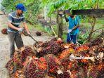 menimbang-buah-kelapa-sawit.jpg