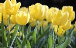 Selain Indah dan Populer, Berikut Fakta Unik Seputar Bunga Tulip yang Harus Diketahui